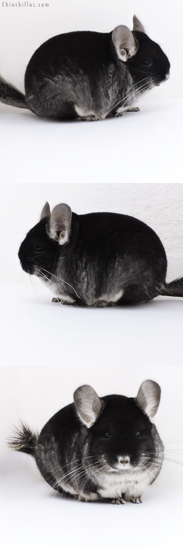 17413 Blocky Show Quality Black Velvet Female Chinchilla