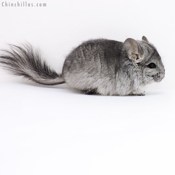 17409 Standard CCCU Royal Persian Angora Male Chinchilla