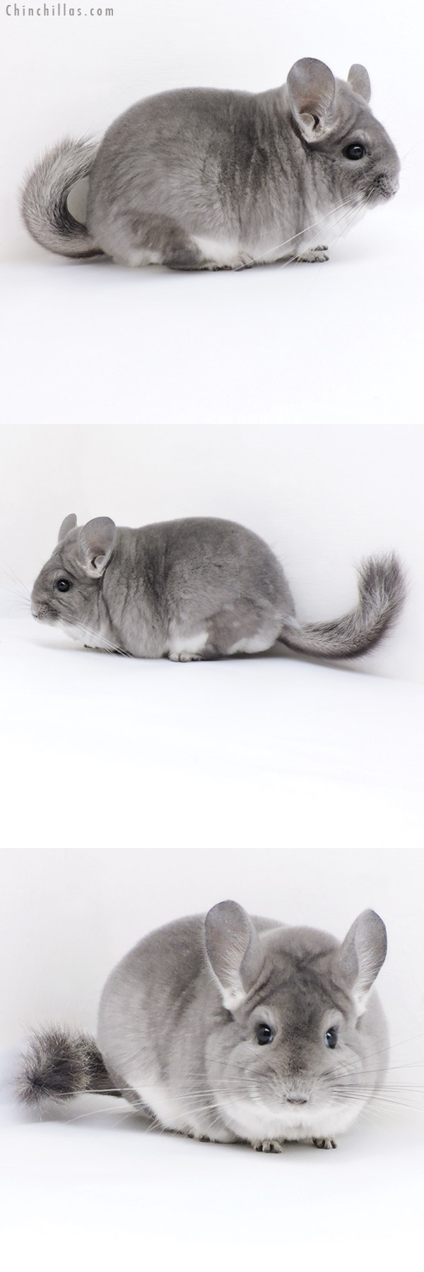 18001 Large Blocky Premium Production Quality Violet Female Chinchilla