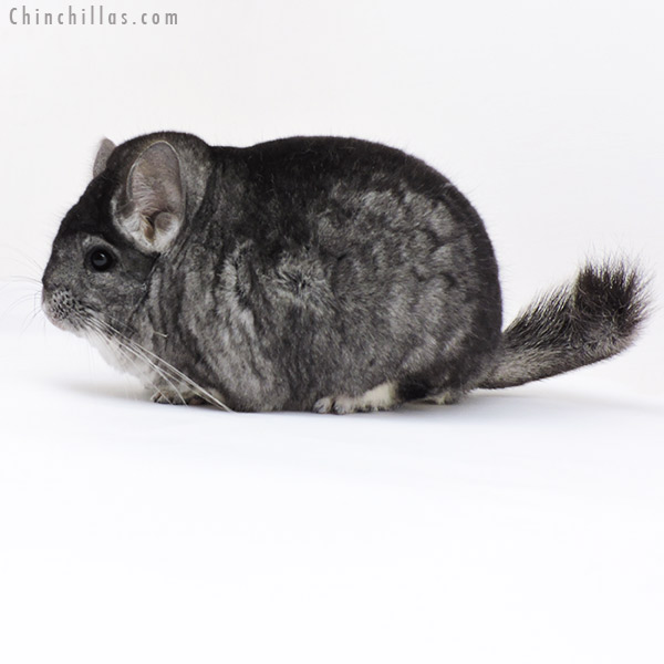 18002 Extra Large Blocky Premium Production Quality Standard Female Chinchilla