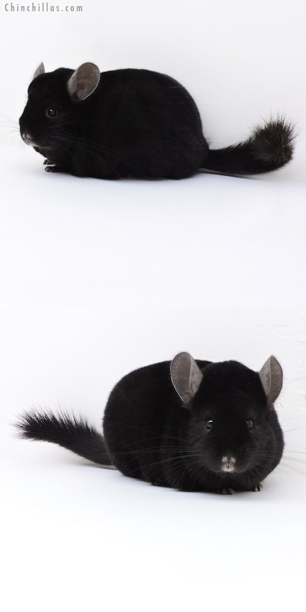 18003 Extra Large Premium Production Quality Ebony Female Chinchilla