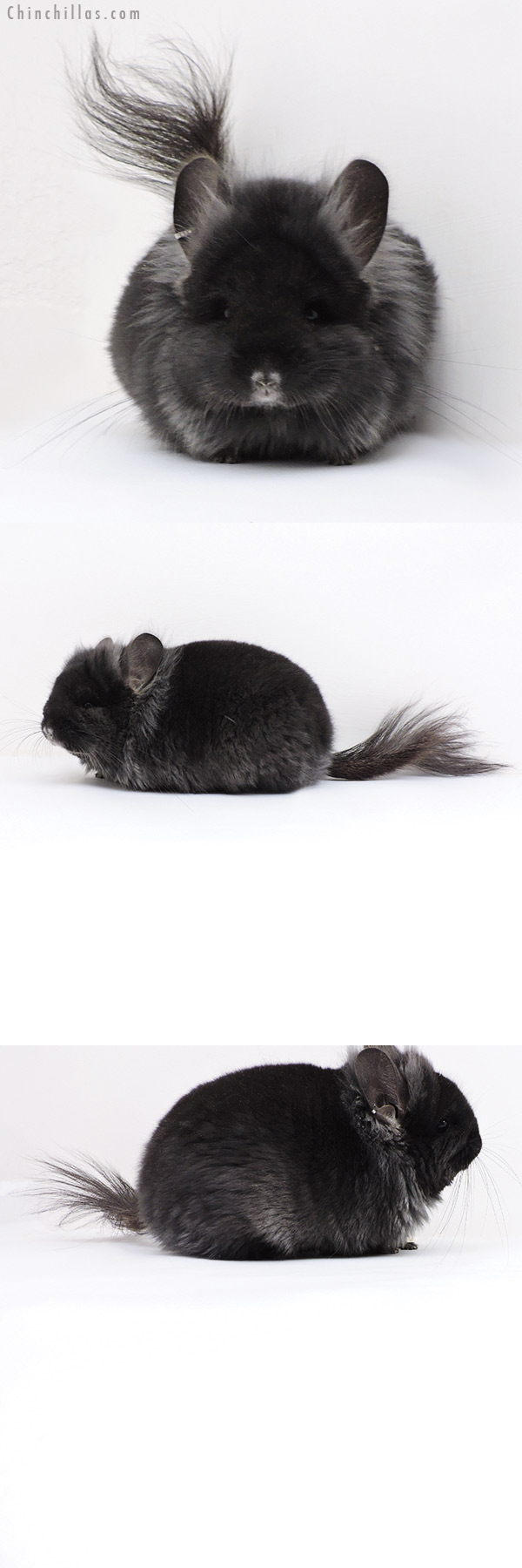 18009 Exceptional Ebony CCCU Royal Persian Angora Female with Lion Mane and Ear Tufts Chinchilla