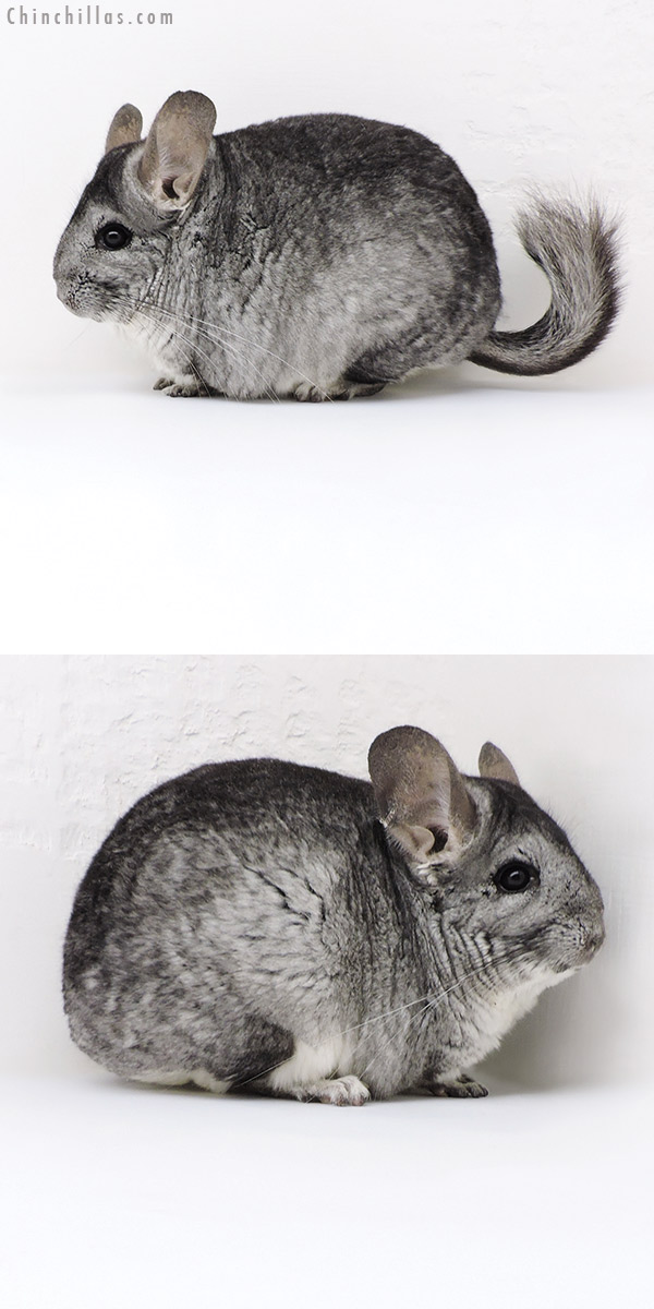 18010 Large Standard ( Sapphire & CCCU Royal Persian Angora Carrier ) Female Chinchilla
