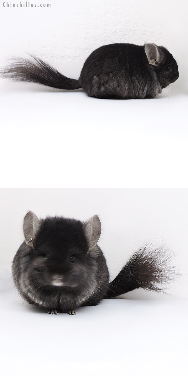 18015 Blocky Ebony CCCU Royal Persian Angora ( Locken Carrier ) Male Chinchilla
