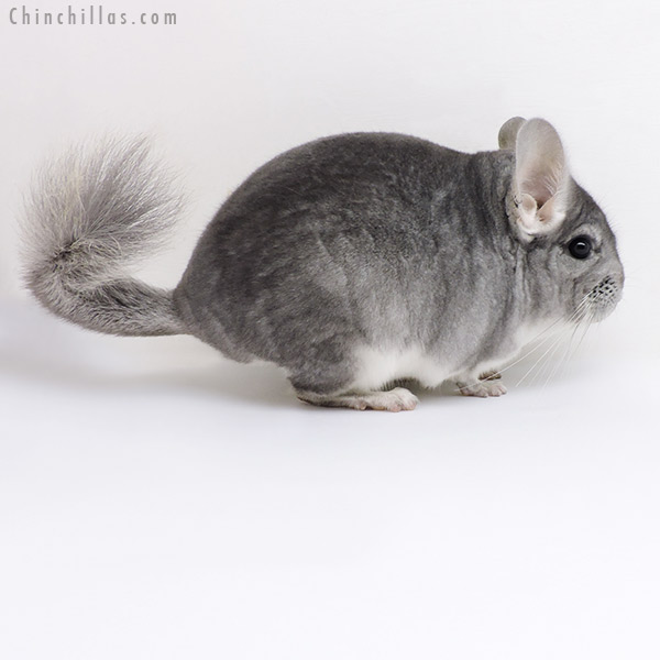 18014 Sapphire ( CCCU Royal Persian Angora Carrier ) Male Chinchilla