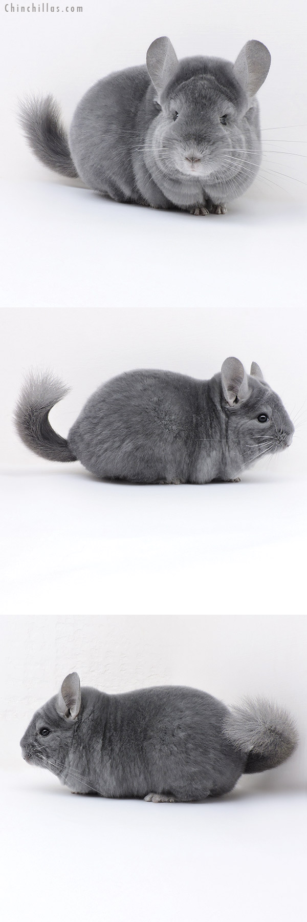 18016 Premium Production Quality Wrap Around Blue Diamond Female Chinchilla