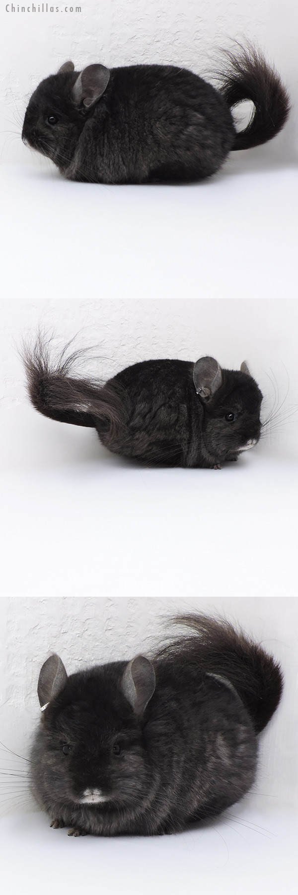 18011 Blocky Ebony CCCU Royal Persian Angora ( Locken Carrier ) Male Chinchilla