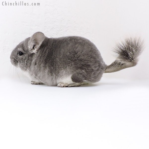 18020 Large Blocky Premium Production Quality Violet Female Chinchilla