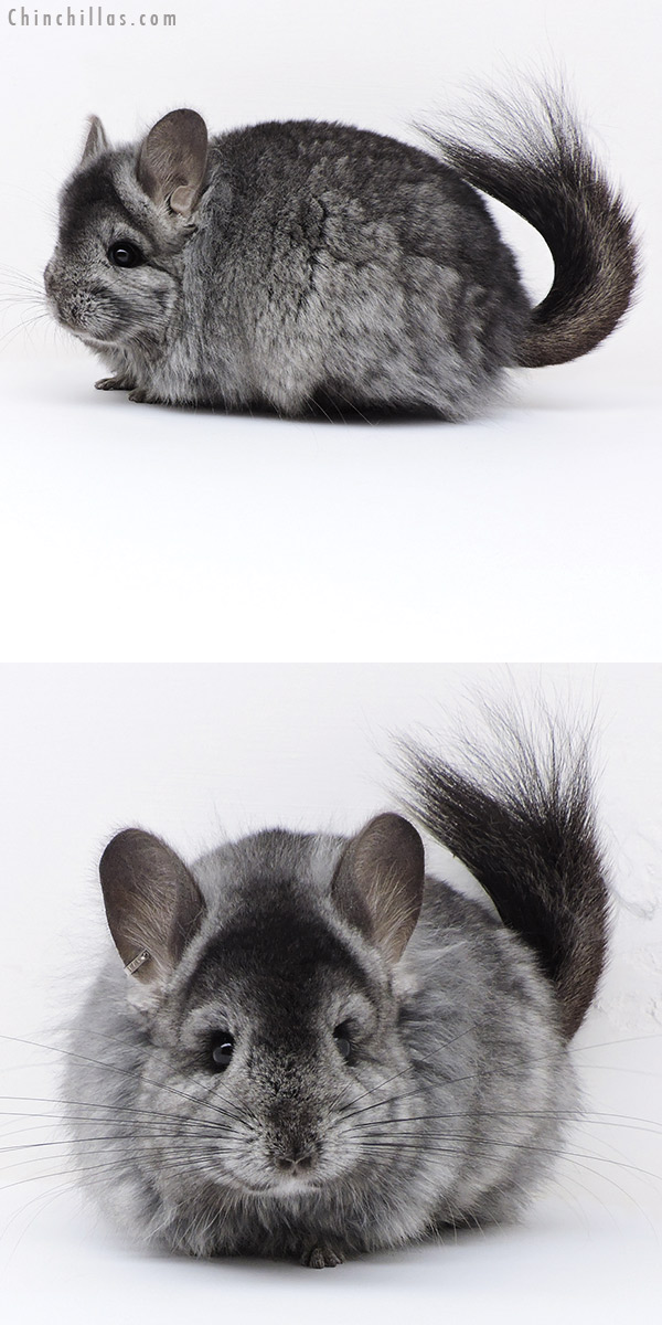 18018 Large Ebony ( Locken Carrier ) CCCU Royal Persian Angora Female Chinchilla
