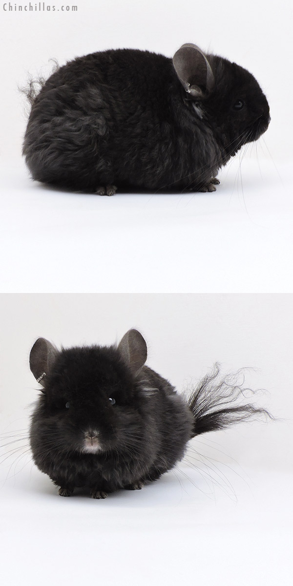 18030 Exceptional Brevi Type Ebony CCCU Royal Imperial Angora Male Chinchilla
