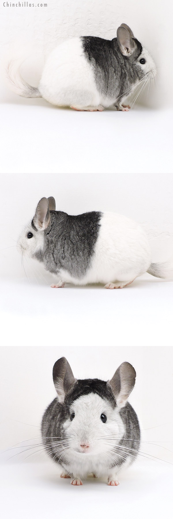 18025 Show Quality Extreme White Mosaic Female Chinchilla