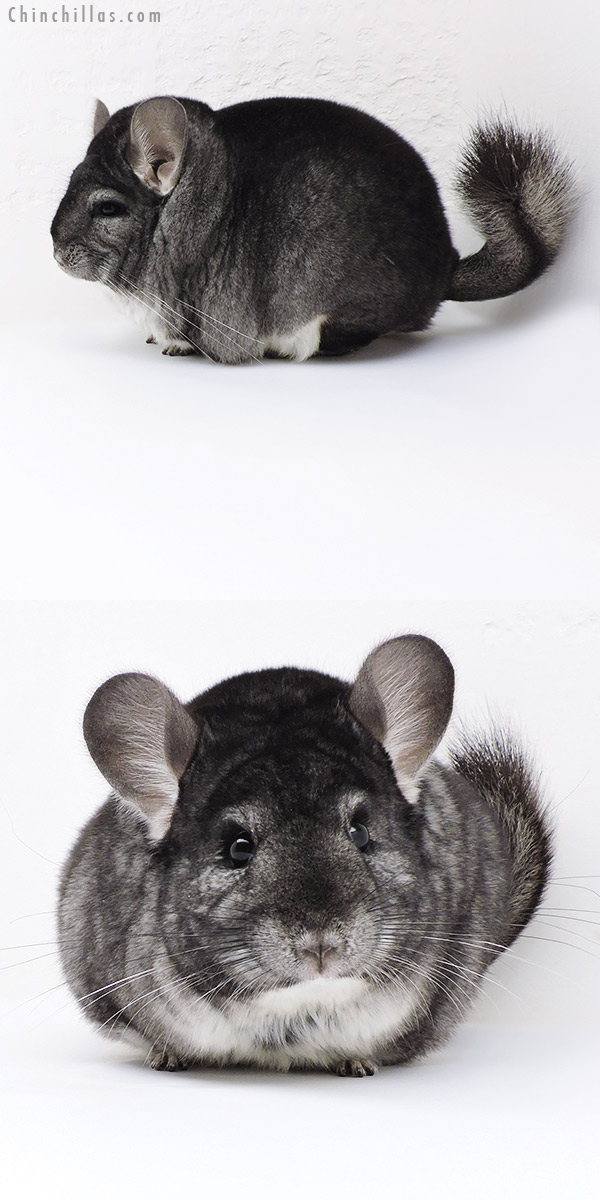 18022 Large Blocky Premium Production Quality Standard Female Chinchilla