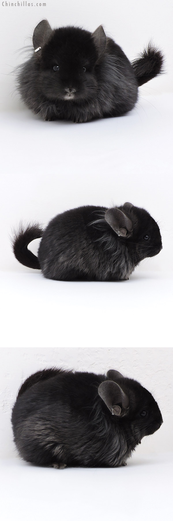 18006 Exceptional Ebony G2 CCCU Royal Persian Angora ( Locken Carrier ) Female Chinchilla
