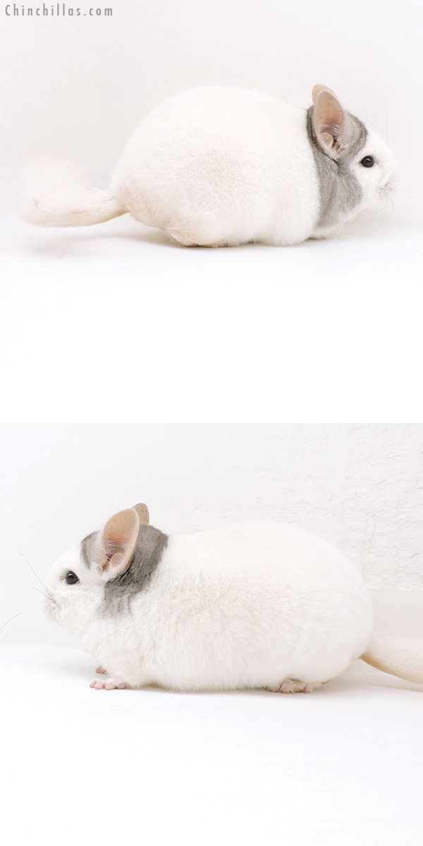 18036 Premium Production Quality Extreme Beige & White Mosaic Female Chinchilla