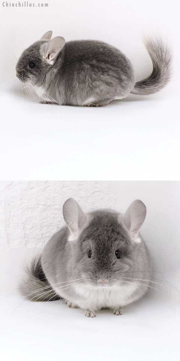 18037 Exceptional TOV Violet ( CCCU Royal Persian Angora Carrier ) Female Chinchilla