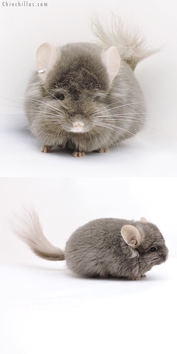 18044 Exceptional Dark Tan CCCU Royal Persian Angora ( Locken Carrier ) Male with Ear Tufts Chinchilla