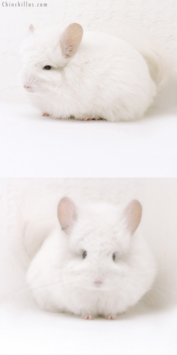18050 Exceptional Pink White CCCU Royal Persian Angora Female Chinchilla