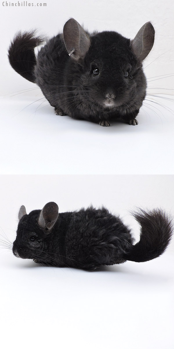 18041 Large Ebony CCCU Royal Persian Angora Quasi Locken Male Chinchilla