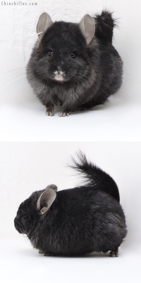 18042 Ebony CCCU Royal Persian Angora ( Locken Carrier ) Male Chinchilla