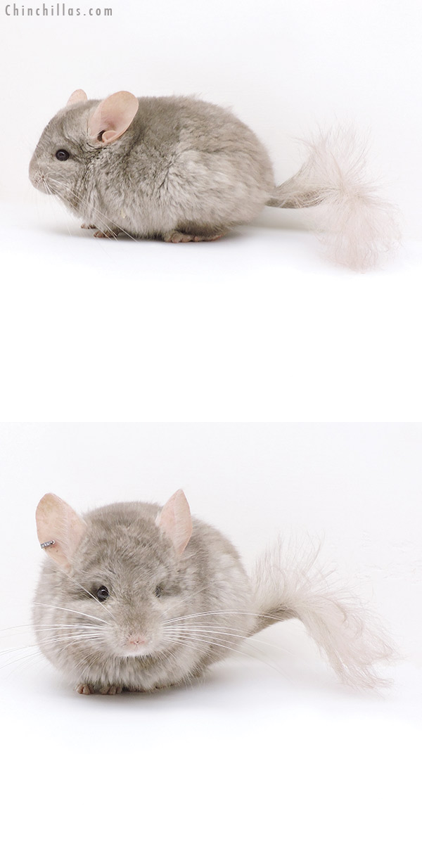 18045 Beige CCCU Royal Persian Angora ( Ebony & Locken Carrier ) Male Chinchilla