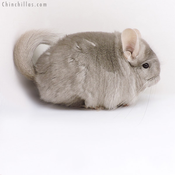 18051 Exceptional Beige CCCU Royal Persian Angora ( Ebony & Locken Carrier ) Female Chinchilla