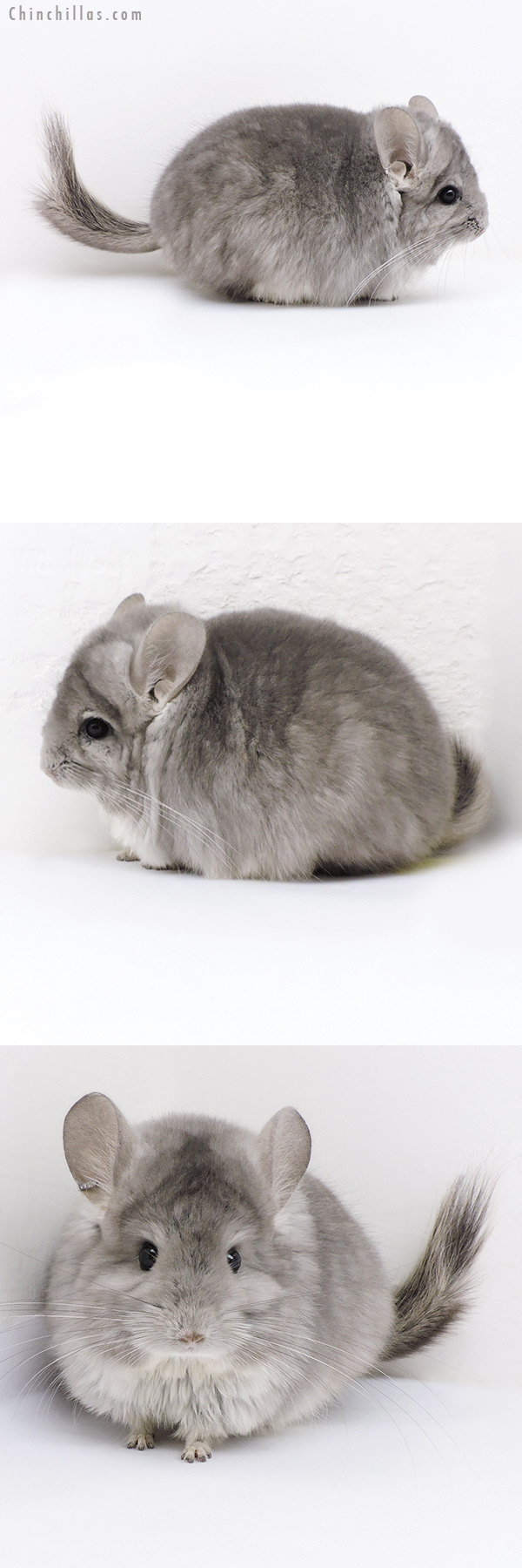 18027 Violet CCCU Royal Persian Angora Male Chinchilla