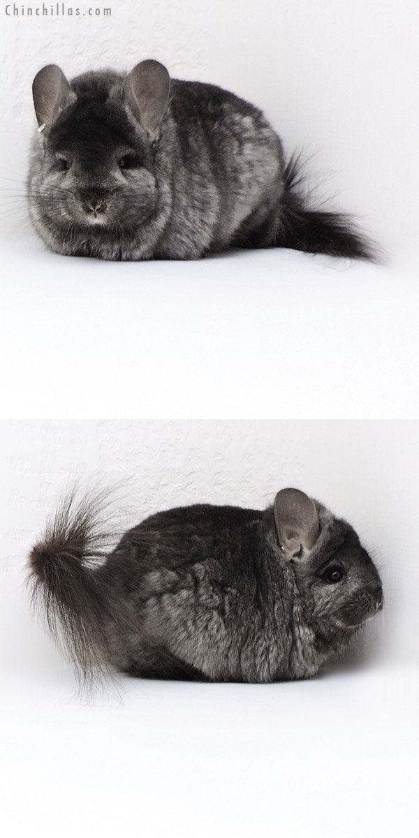 18023 Large Blocky Ebony CCCU Royal Persian Angora ( Locken Carrier ) Female Chinchilla