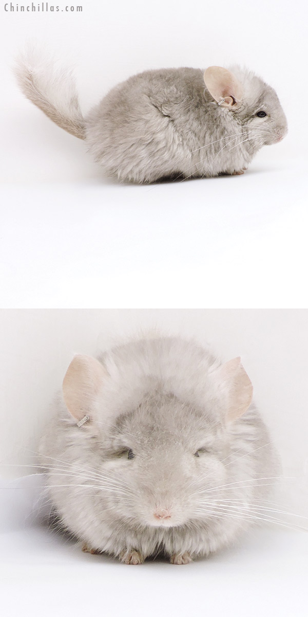 18012 Beige CCCU Royal Persian Angora ( Ebony & Locken Carrier ) Male Chinchilla