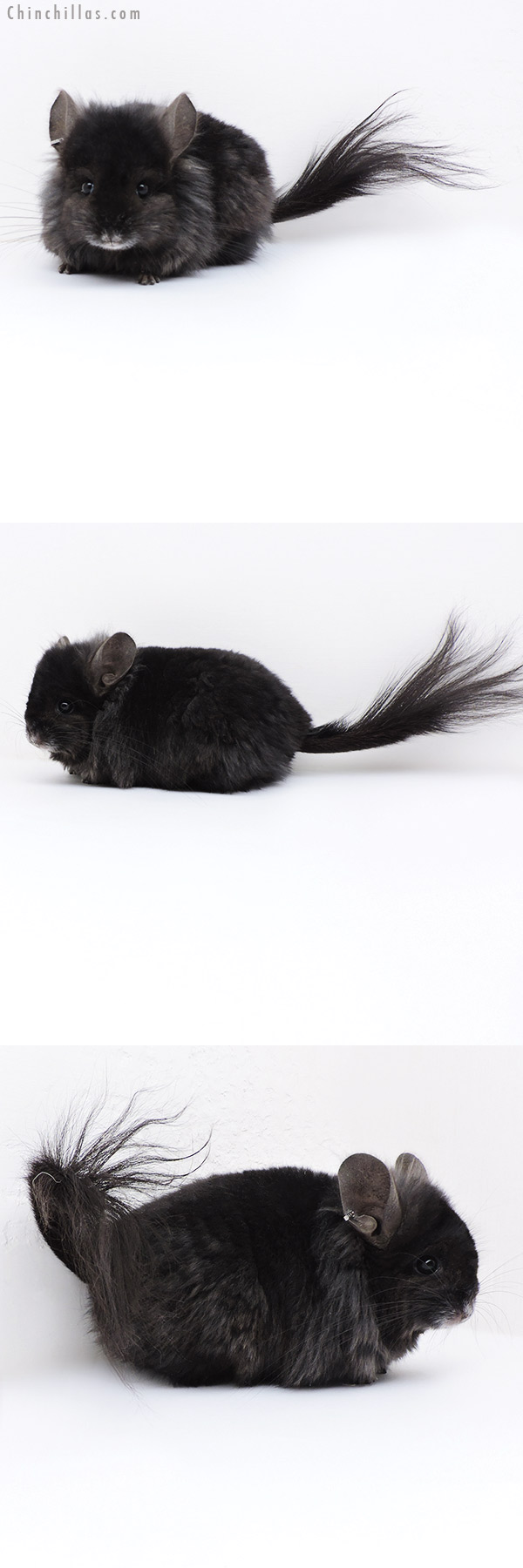 18005 Ebony CCCU Royal Persian Angora ( Locken Carrier ) Female with Lion Mane Chinchilla
