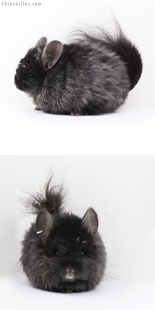 18008 Exceptional Ebony Royal Imperial Angora Female Chinchilla