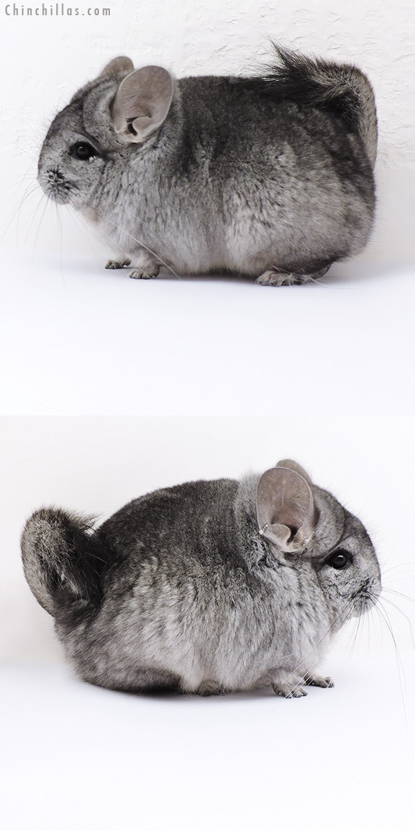 18057 Standard ( Ebony Carrier ) CCCU Royal Persian Angora Male Chinchilla