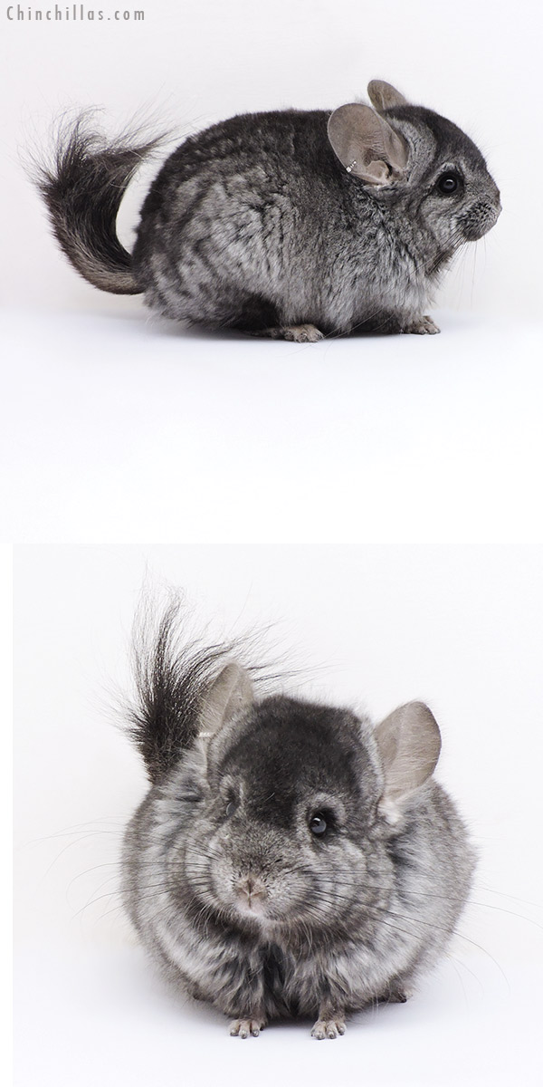18058 Ebony ( Locken Carrier ) CCCU Royal Persian Angora Male Chinchilla