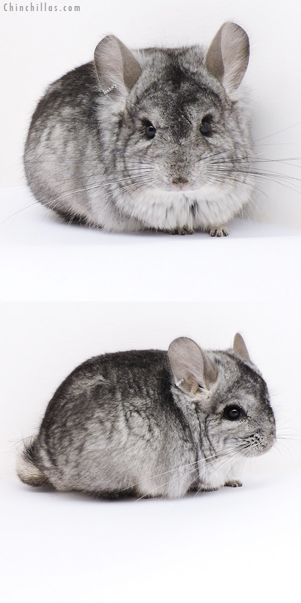 18059 Standard ( Violet Carrier ) CCCU Royal Persian Angora Male Chinchilla