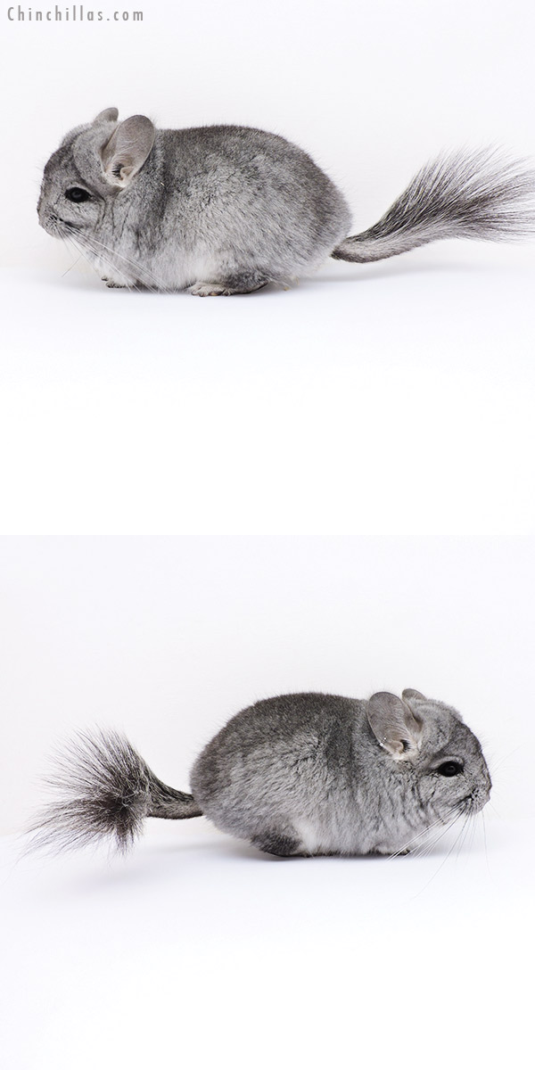18061 Standard CCCU Royal Persian Angora Male Chinchilla