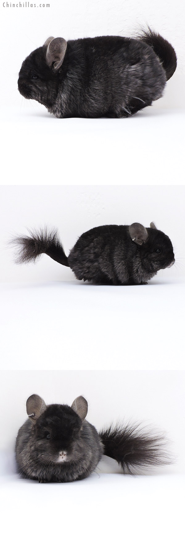18053 Ebony ( Locken Carrier ) CCCU Royal Persian Angora Male Chinchilla