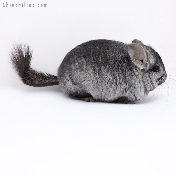 18070 Ebony CCCU Royal Persian Angora Male Chinchilla