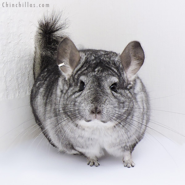 18088 Large Standard ( CCCU Royal Persian Angora & Sapphire Carrier ) Female Chinchilla
