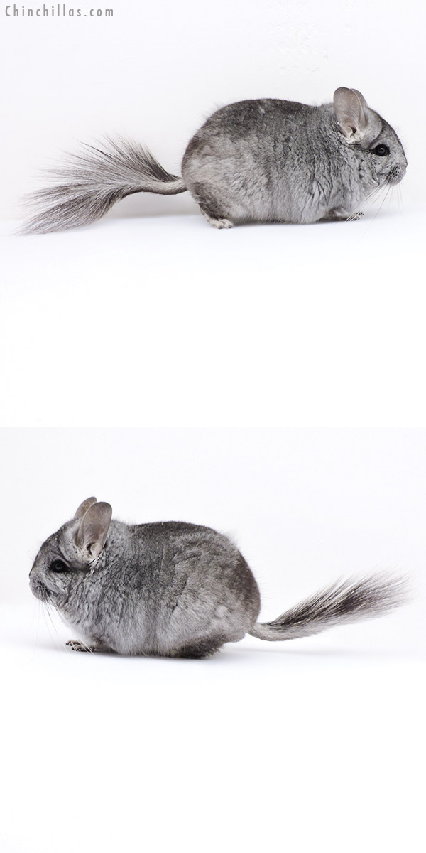 18076 Standard CCCU Royal Persian Angora Male Chinchilla