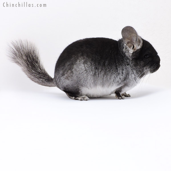 18080 Black Velvet ( CCCU Royal Persian Angora & Ebony & Locken Carrier ) Male Chinchilla