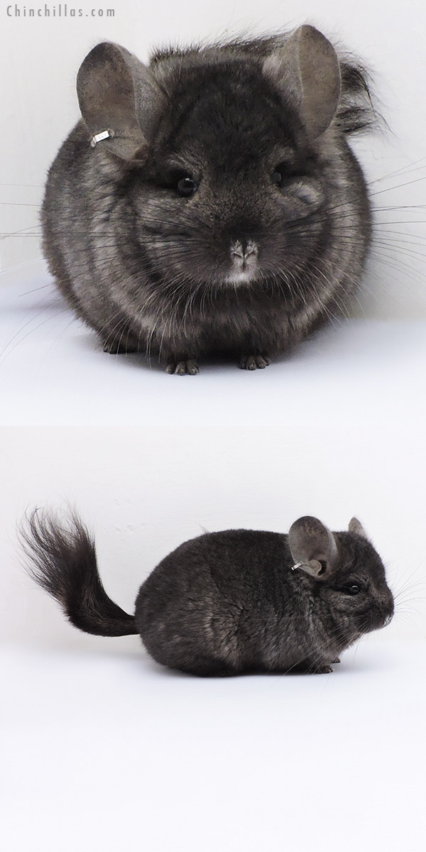 18066 Ebony CCCU Royal Persian Angora ( Locken Carrier ) Male Chinchilla