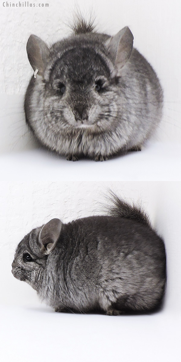 18077 Ebony CCCU Royal Persian Angora ( Locken Carrier ) Male Chinchilla