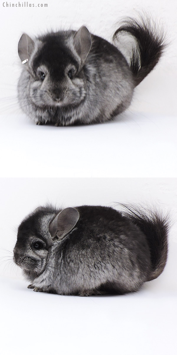 18081 Ebony CCCU Royal Persian Angora ( Locken Carrier ) Male Chinchilla