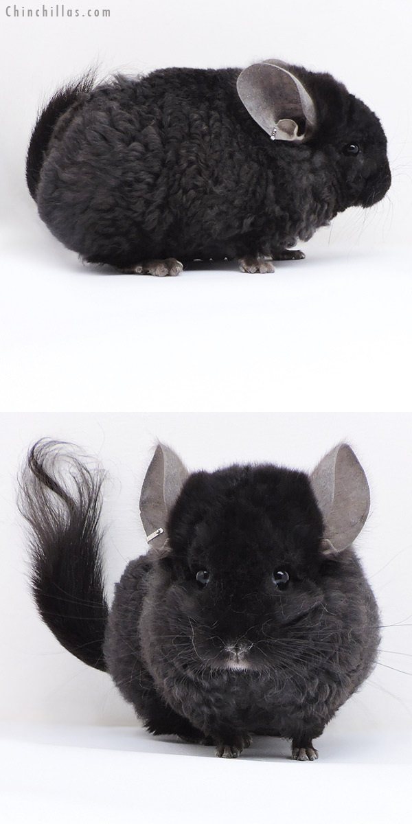 18062 Exceptional Ebony CCCU Royal Imperial Angora Male Chinchilla