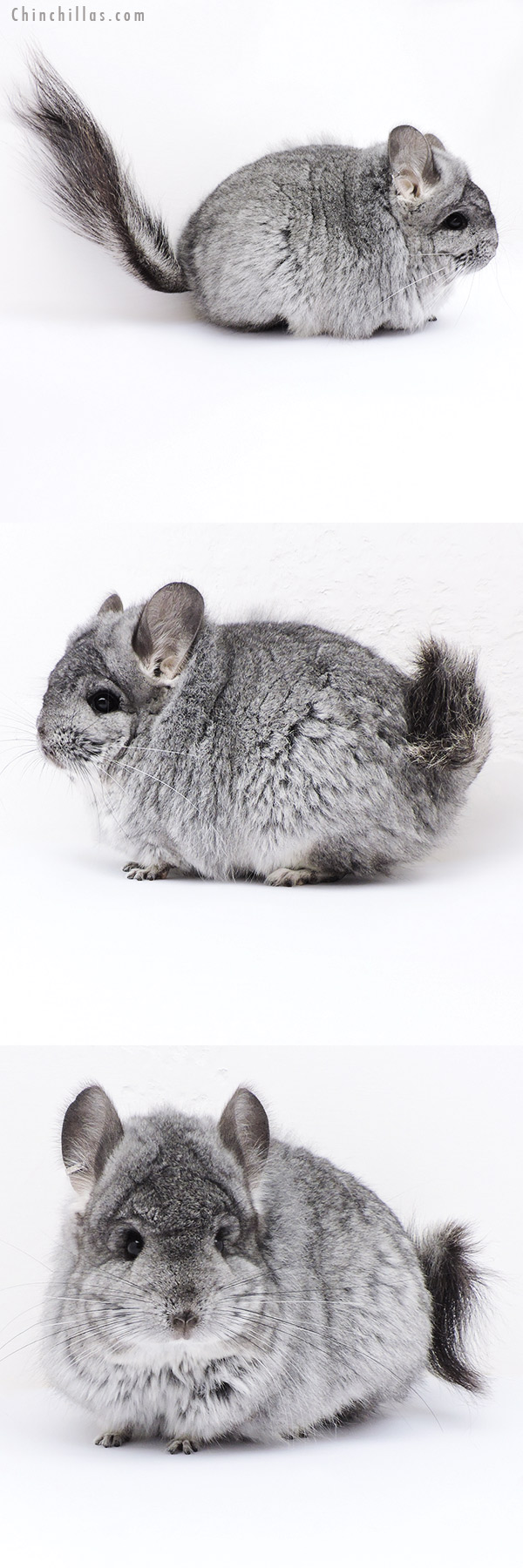 18095 Large Blocky Standard CCCU Royal Persian Angora Female Chinchilla