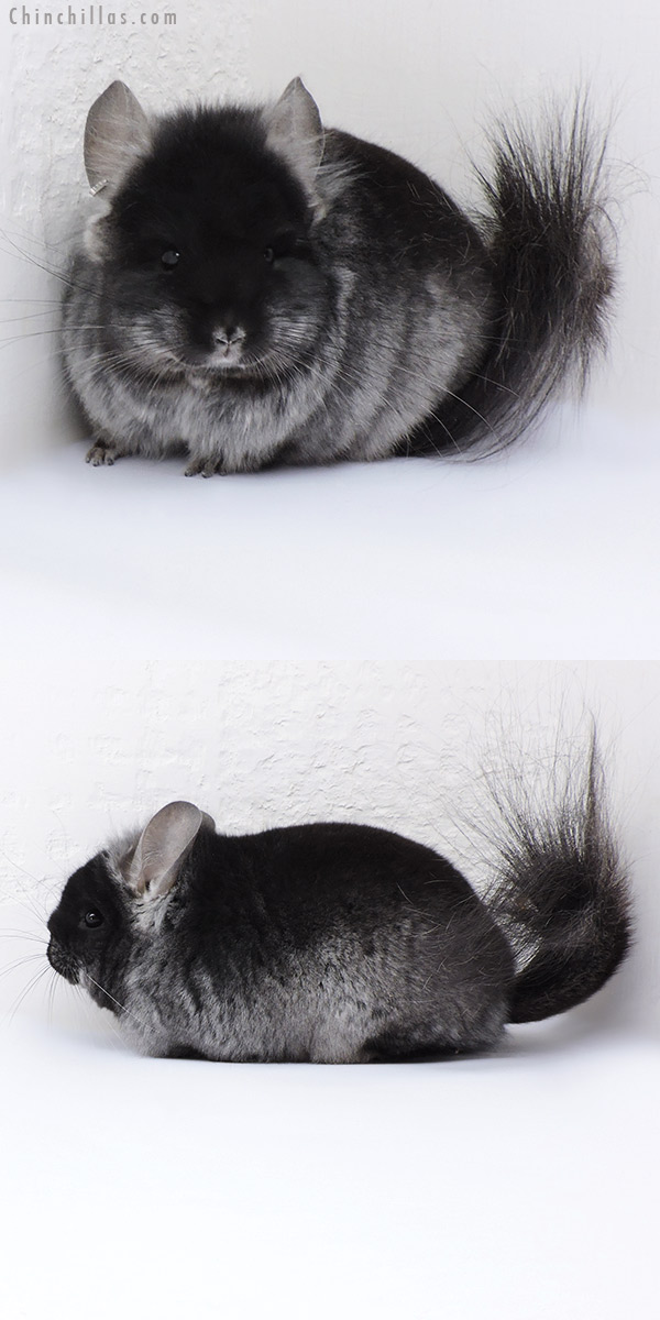 18085 Black Velvet CCCU Royal Persian Angora ( Ebony & Locken Carrier ) Male Chinchilla