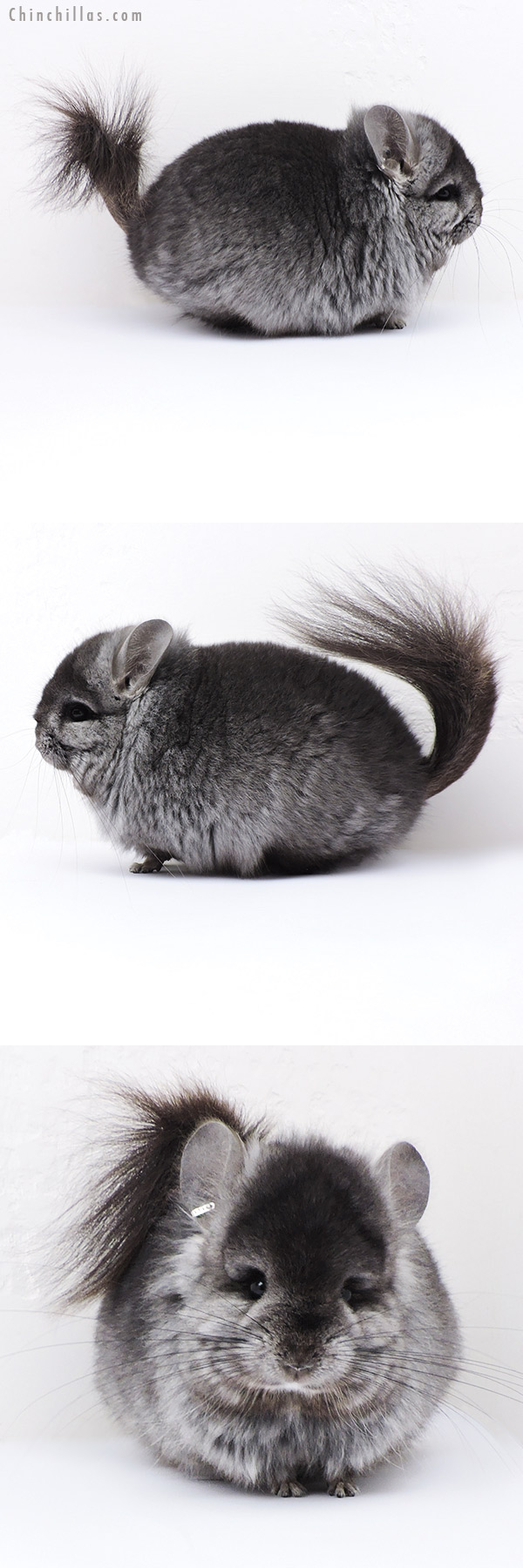 18079 Ebony Brevi Type CCCU Royal Persian Angora ( Locken Carrier ) Male Chinchilla