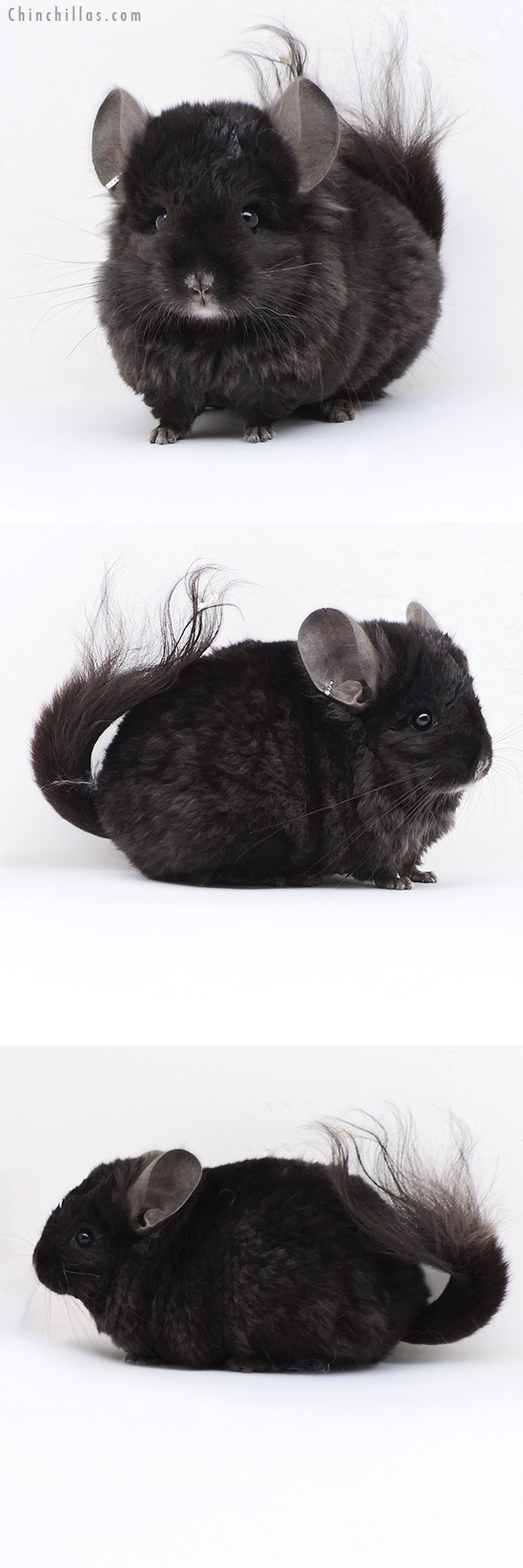 18067 Ebony CCCU Royal Imperial Angora Male Chinchilla