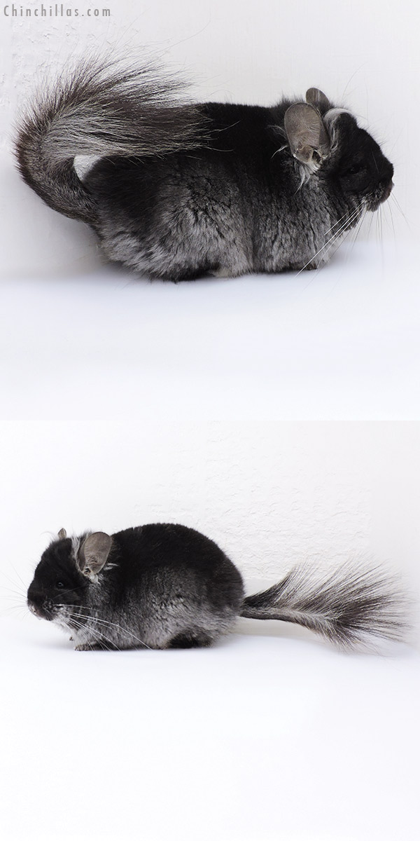 18084 Exceptional Black Velvet CCCU Royal Persian Angora Male with Ear Tufts Chinchilla