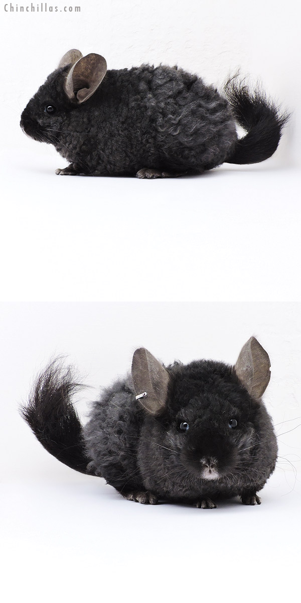 18098 Exceptional Ebony CCCU Royal Imperial Angora Female Chinchilla