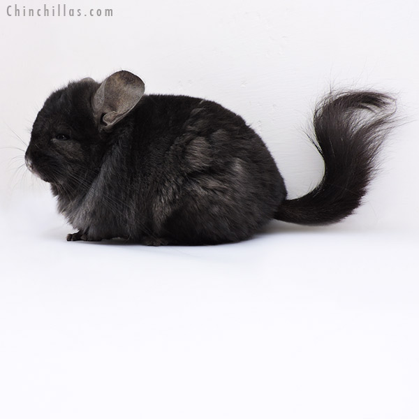 18097 Ebony CCCU Royal Persian Angora ( Locken Carrier ) Male Chinchilla